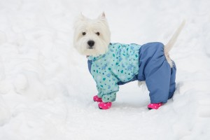 White spitz in winter dress