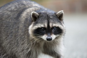 Potrait of a common raccoon