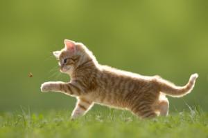 Junge Katze mit Marienkäfer, auf grüner Wiese