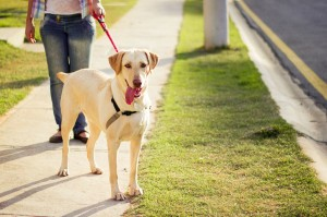 Labrador passeando, cachorro