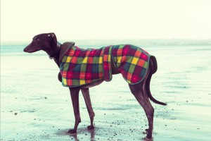 Greyhound on the beach, Scotland. Colorised filter effect image.