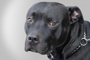 a black pitbull on neutral background