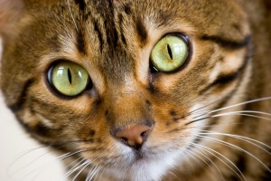 Close up detail of a Bengal's Face.
