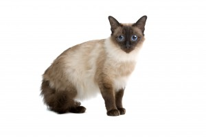 Balinese,birmanese cat isolated on white